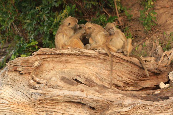 Affenfamilie Beim Entlausen