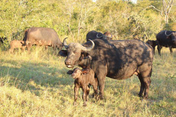 Büffel Mit Jungtier
