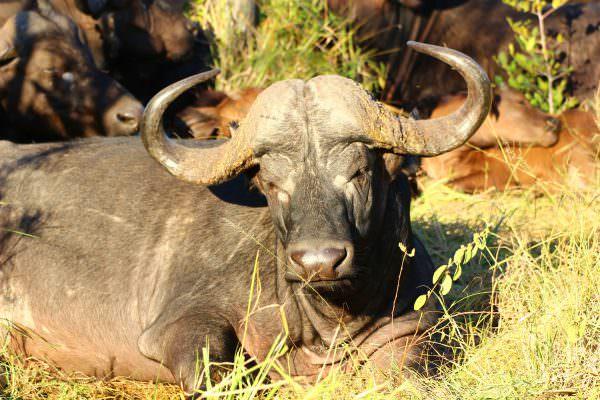 Büffel In Detailansicht