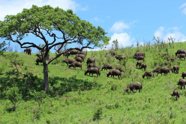 Büffelherde Im Hluhluwe Imfolozi National Park