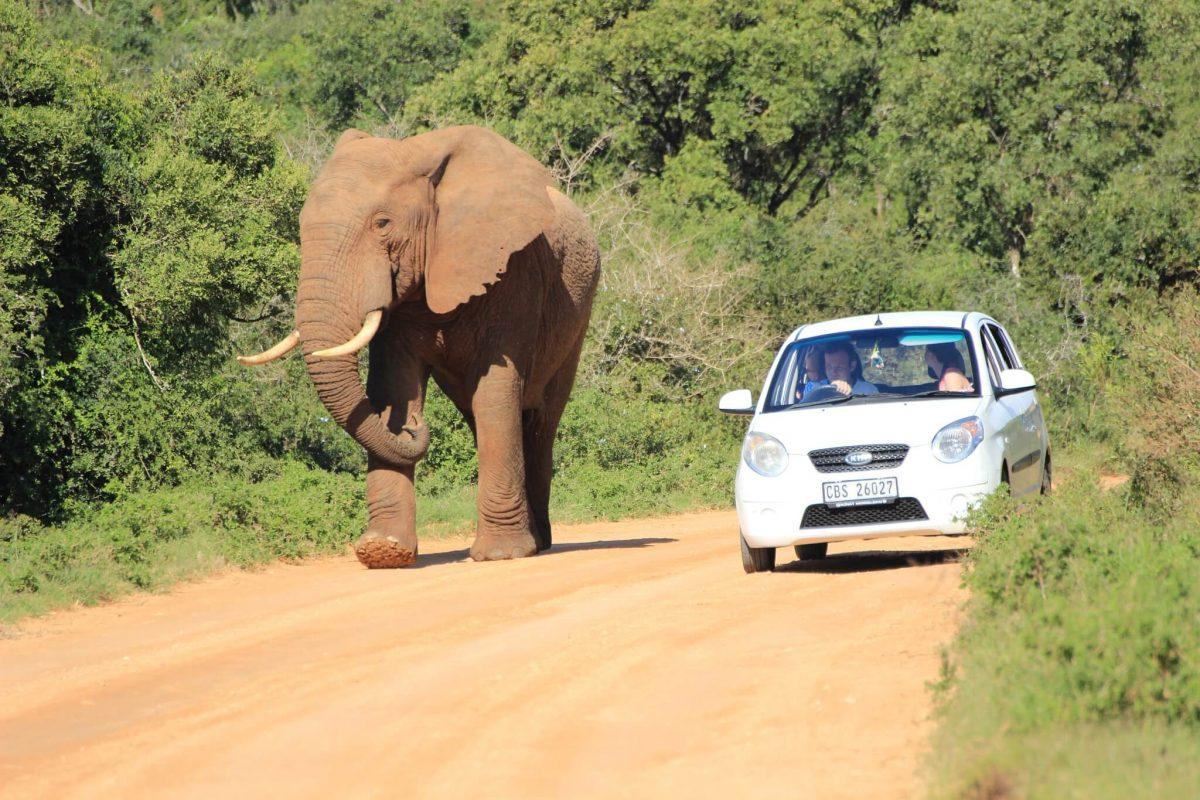 Elefant Neben Selbstfahrer Im Addo