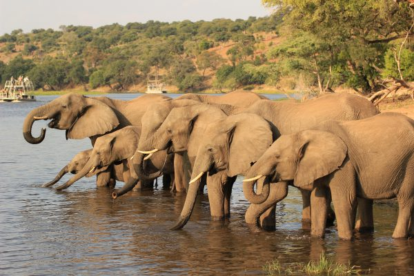 Elefanten Am Chobe River