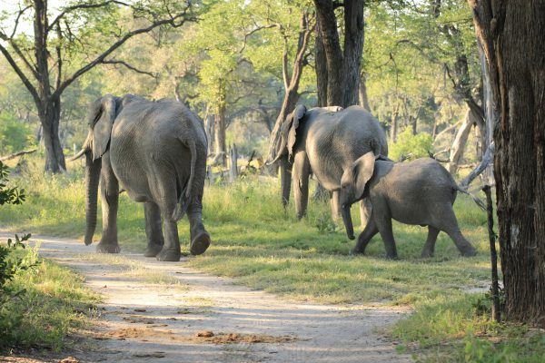 Elefanten Moremi Game Reserve