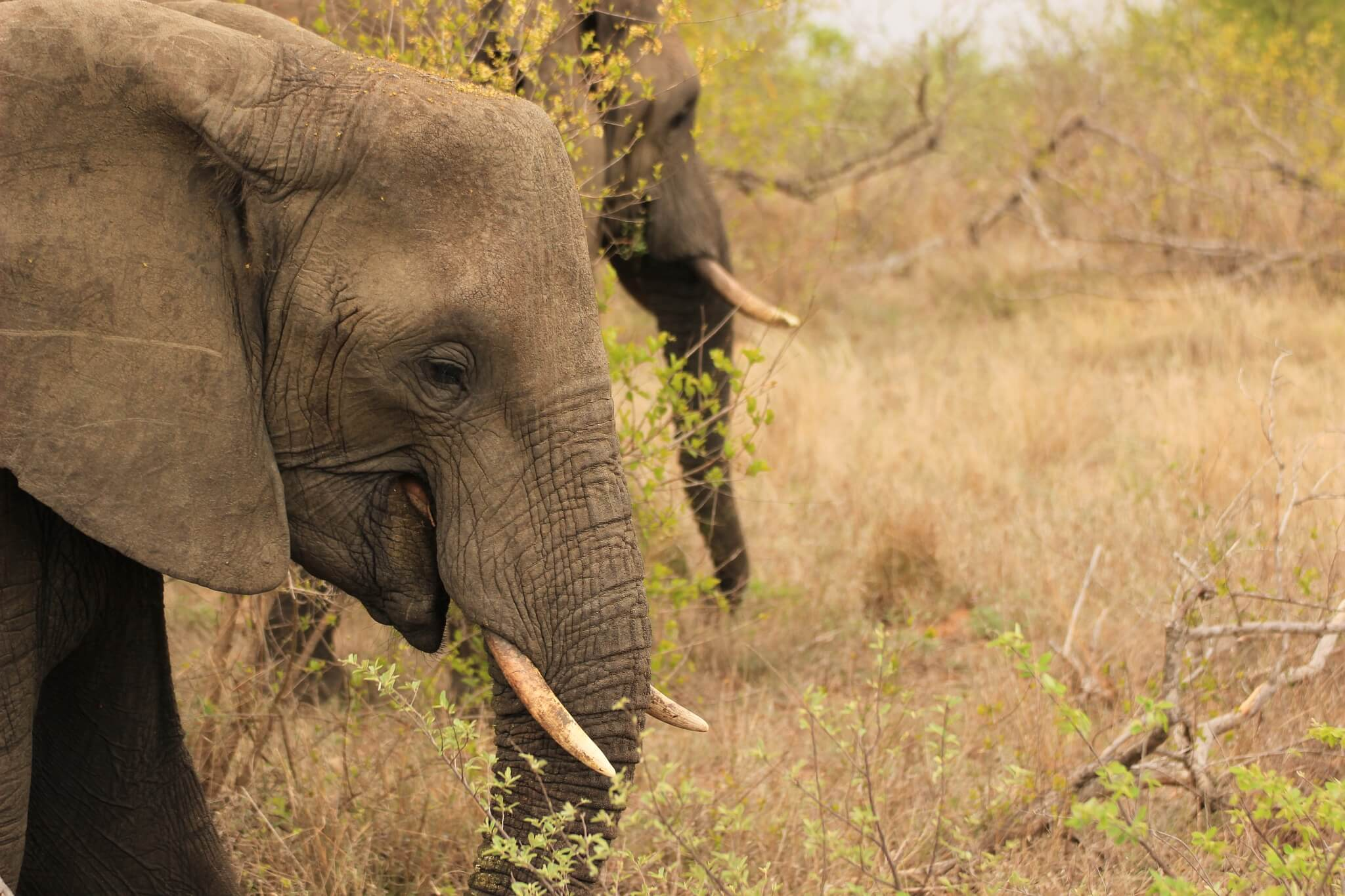 Elefantenbullen in Detailaufnahme