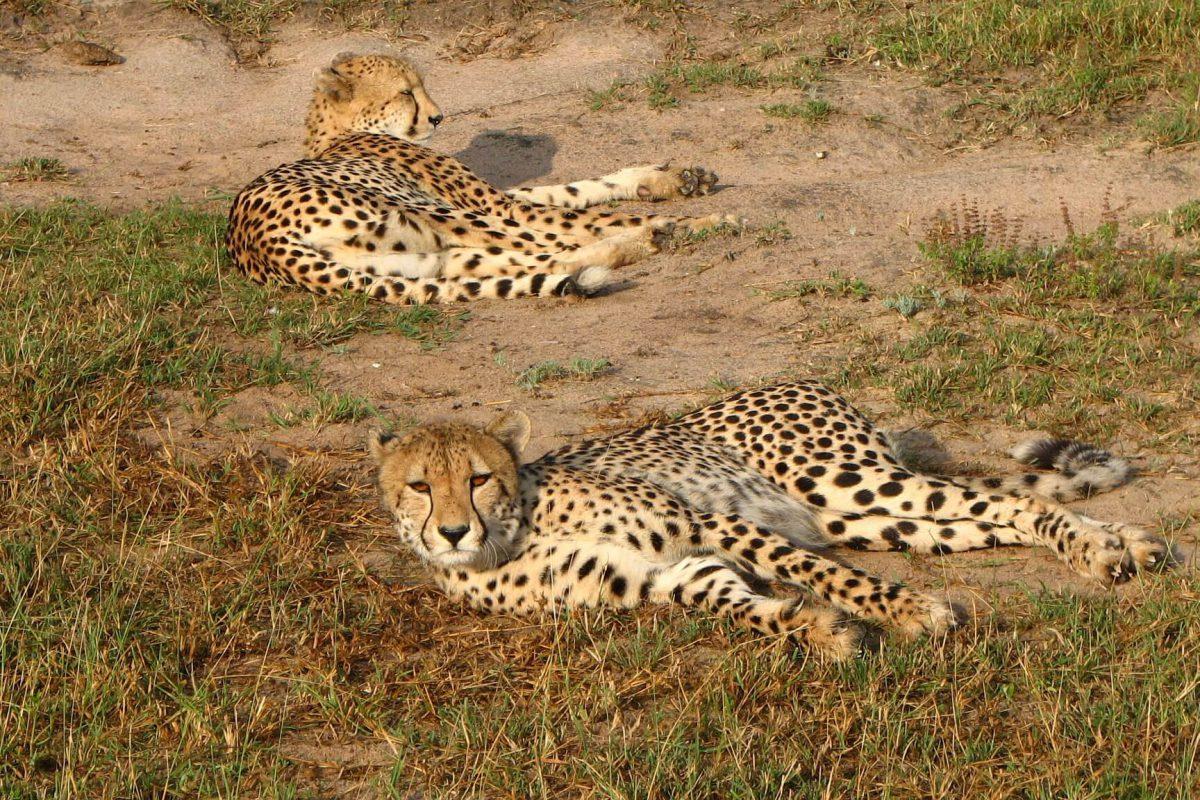 Geparden Beim Ausruhen | Mala Mala Game Reserve