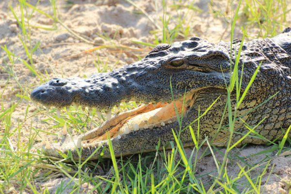 Krokodil In Detailaufnahme