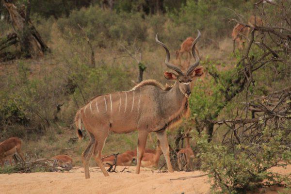 Kudu In Detailaufnahme