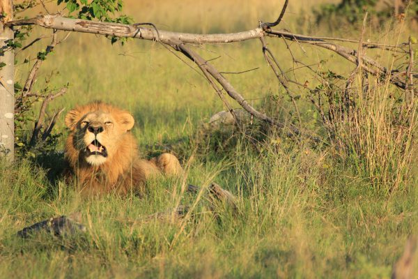 Löwenbeobachtung Moremi Game Reserve