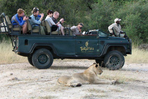 Löwenbeobachtung Auf Safari