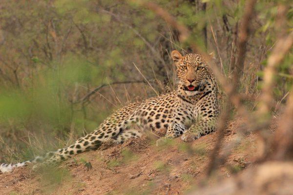 Leopard Pumba Game Reserve