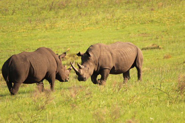 Zwei Nashornbullen Im Kampf