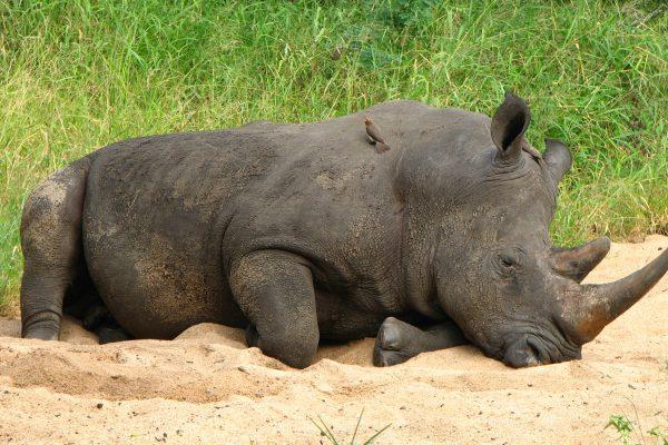 Nashorn Liegt Im Sand