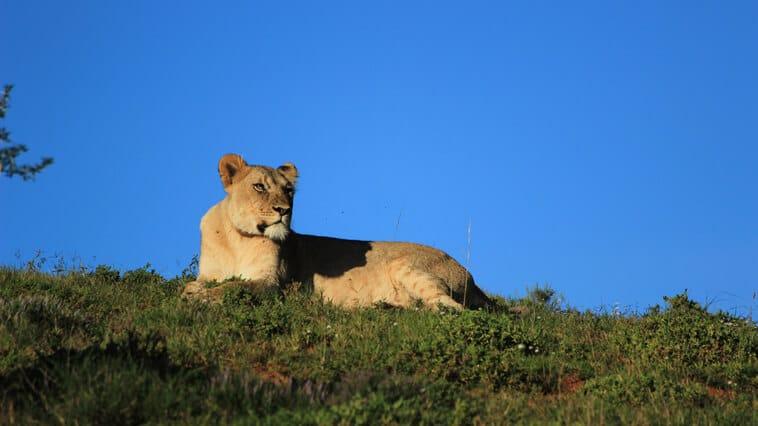 suedafrika-amakhala-safari-reservat-loewe-1
