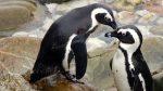 Suedafrika-boulders-beach-pinguine