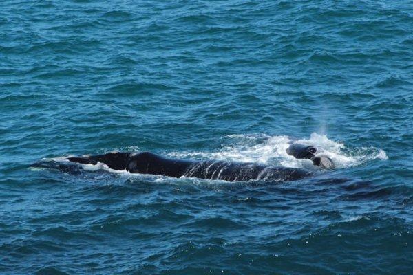 Der Südafrikanische De Kelders Wal