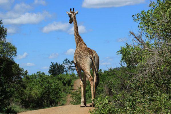 Giraffe Auf Einer Straße | Blick Von Unten