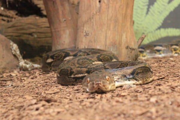 Schlange Blickt In Die Kamera
