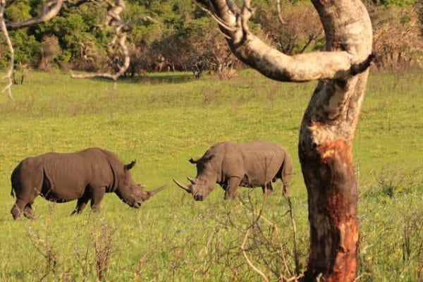 Zwei Kämpfende Nashörner Werden Beobachtet