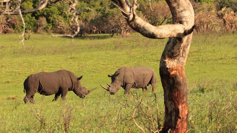suedafrika-isimangalise-wetlands-park-kaempfende-nashoerner