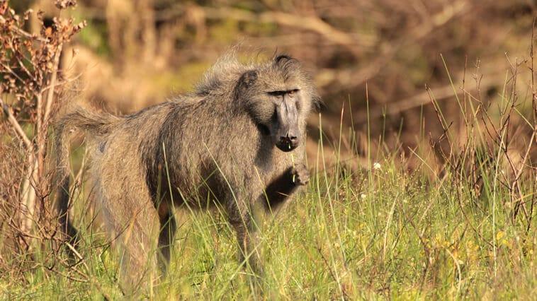 Suedafrika Isimangaliso Wetlands Park Pavian