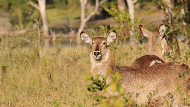 Suedafrika Isimangaliso Wetlands Park Wasserbock