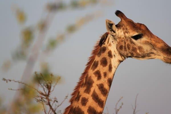 Suedafrika-kruger-park-giraffe