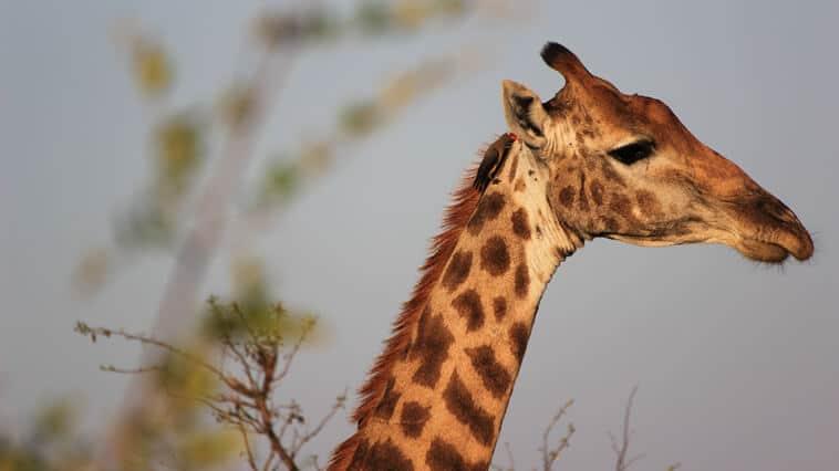 Suedafrika Kruger Park Giraffe