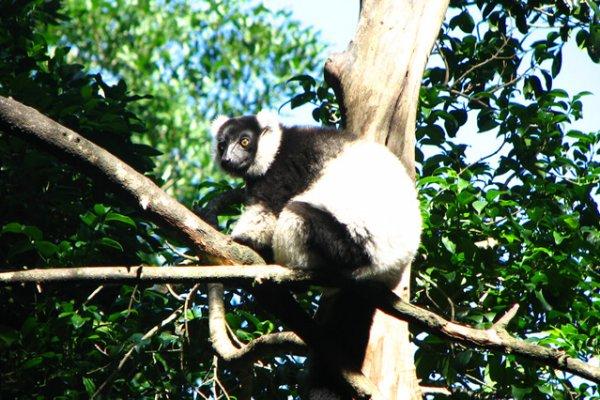 Affe Im Baum Auf Monkeyisland