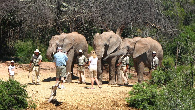 suedafrika-oudtshoorn-buffelsdrift-elefanten