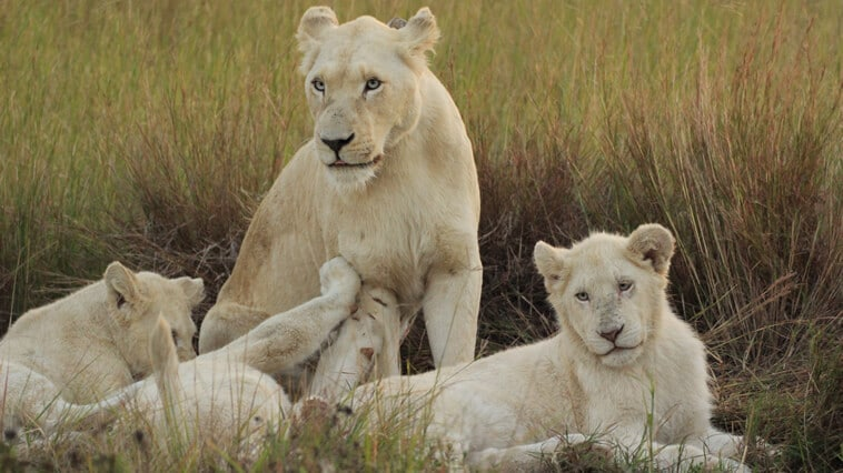 suedafrika-pumba-safari-reservat-weisser-loewe