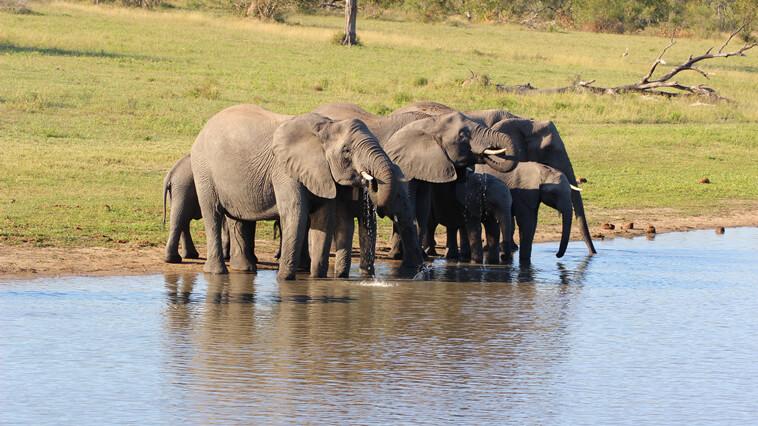 Suedafrika Sabi Sand Elefanten Beim Trinken