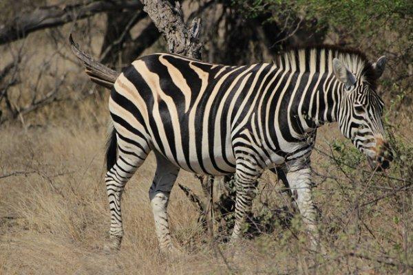Suedafrika-sabi-sand-zebra