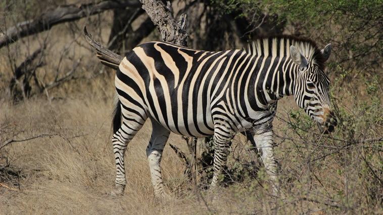 Suedafrika Sabi Sand Zebra
