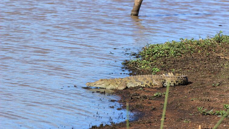 suedafrika-st-lucia-krokodil-am-ufer
