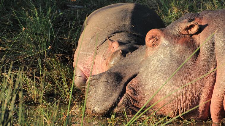 suedafrika-st-lucia-nilpferd-beim-schlafen