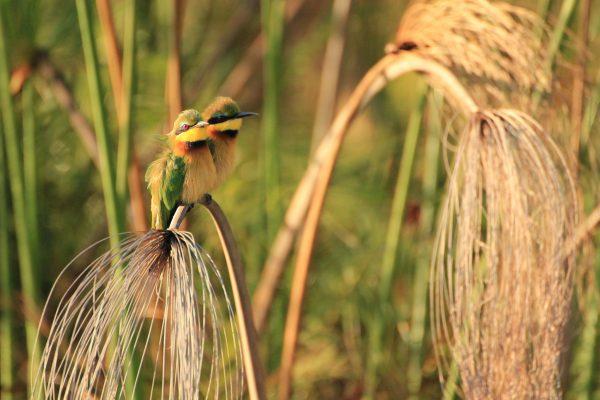 Vogel-okavango-delta