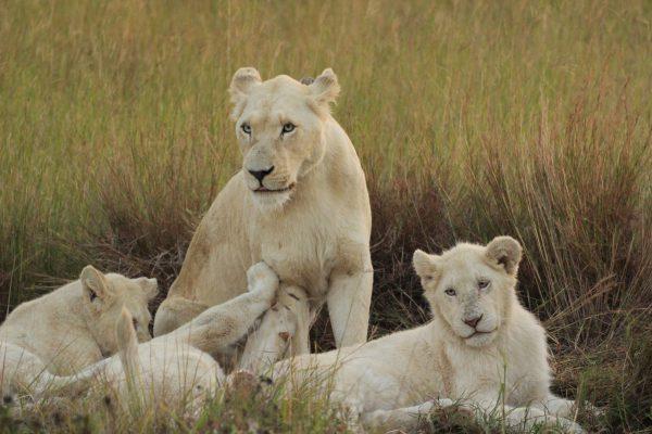 Im Pumba Game Reserve Können Sie Weiße Löwen Bestaunen.
