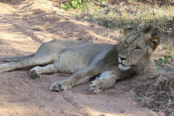 Liegender Löwe Auf Straße