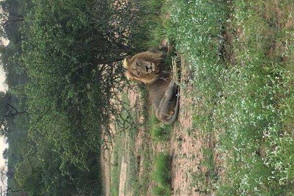 Löwe Auf Südafrika Reise
