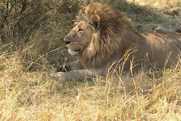 Löwe Kurz Vor Der Jagd