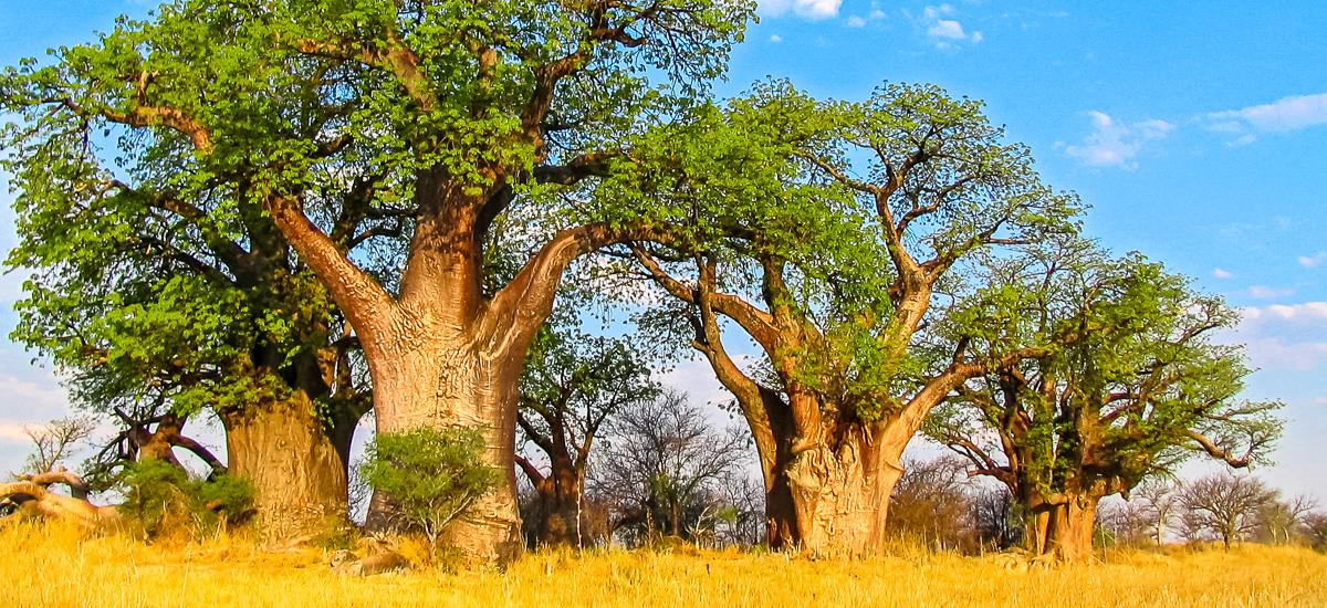 Baobab im Makgadikgadi