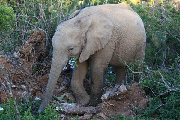 Babyelefant Auf Safari