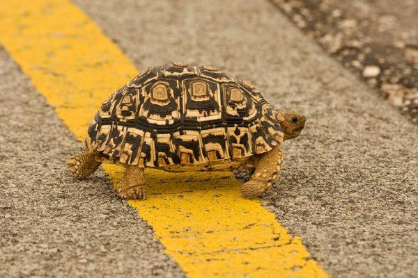Leopard-turtoise-Geochelone-pardalis