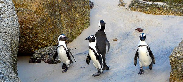 Pinguine Am CapePoint
