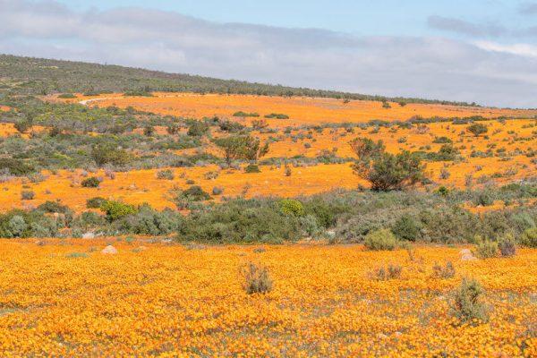 orangene Gänseblümchen zur Namaqualand Blüte