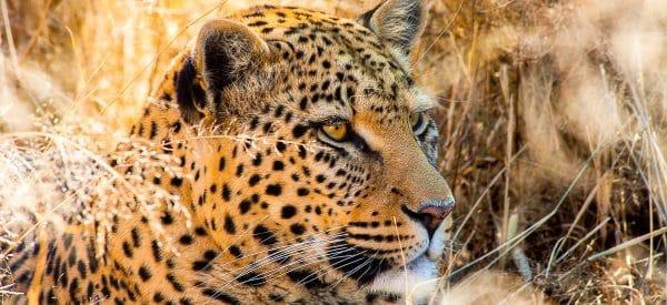 Leopard in Detailaufnahme
