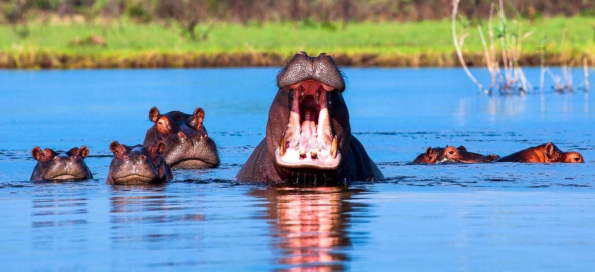Flusspferdfamilie Im Kwando