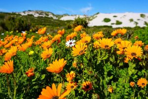 Blüte Im Namaqualand