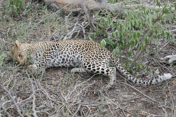 Liegender Leopard Im Unterholz