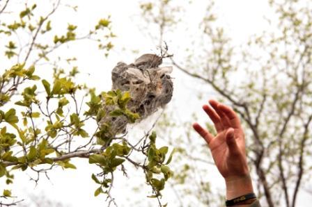 Nest einer Spinnenkolonie im Baum